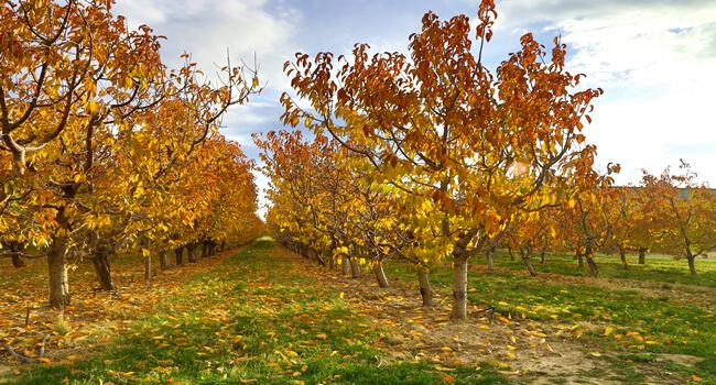 Jeseň ovocné stromy