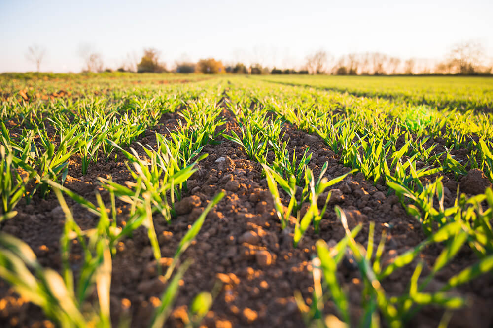 pohľad na úrodu na poli